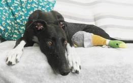 Rehomed Greyhound